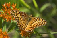 Variegated Fritillary Butterfly--Zinfandel