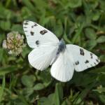 """Cabbage White Butterfly"" by tricia"
