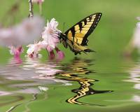 Eastern Tiger Swallowtail--Raspberry Frizzante