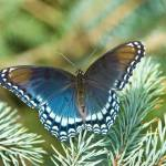 """Red-Spotted Purple--Sonata"" by tricia"