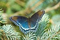 Red-Spotted Purple--Sonata
