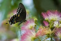 Spicebush Swallowtail Butterfly--Pinot Grigio