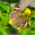 """Buckeye Butterfly"" by tricia"