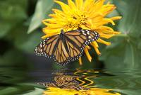Monarch Butterfly--Vino Rosso