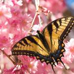 """Eastern Tiger Swallowtail--Raspberry Blush"" by tricia"