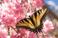 Eastern Tiger Swallowtail--Raspberry Blush
