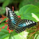 """Malaysian Blue Clipper Butterfly--Black and Blue"" by tricia"
