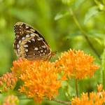 """Great Spangled Fritillary--Hillside Spumante"" by tricia"