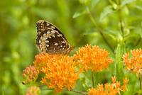 Great Spangled Fritillary--Hillside Spumante