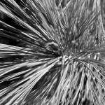 """Pine Needles 1"" by Sari_McNamee"