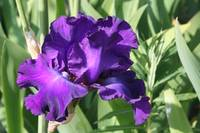 Purple Iris FT3012