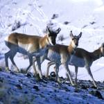 """Yellowstone Pronghorns"" by garyrogers"