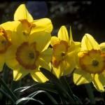 """""""Daffodills"""" by garyrogers"""