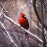 """Cardinal"" by garyrogers"