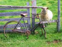 sheep & bicycle