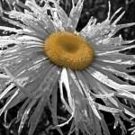 """Black and White and Yellow Daisy"" by Sari_McNamee"