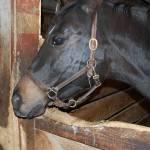 """Stallion Black Beauty Horse"" by crazyabouthercats"