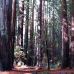 """Ancient Old-Growth Redwood Forest"" by tracker"