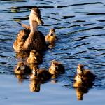 """Florida Duck & Chicks"" by DAD"