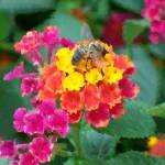 """Bee On Lantana Bush Oil Painting"" by justbyjulies"