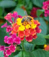 Bee On Lantana Bush Oil Painting