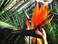Bird Of Paradise Flower Oil Painting