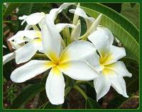 white tropicals