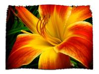 flame day lily