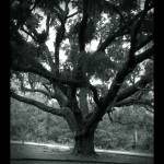 """live oak southern gothic"" by shaney442"