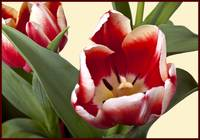 Red and White Tulip