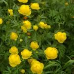 """""""Globe flowers"""" by sheiro"""