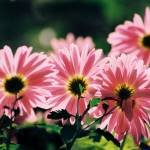 """Asters, enjoying the autumn sunshine"" by albert-nagy"