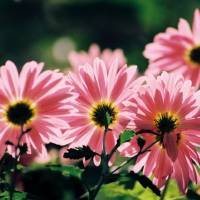 Asters, enjoying the autumn sunshine Art Prints & Posters by Albert Nagy