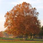 """autumn tree american river park"" by lwoodburn"