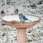"""Bluejay in Winter"" by naturephotos"