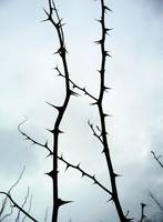 Black thorns against a winter sky