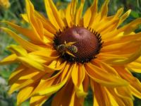 Bee on Black Eyed Susan