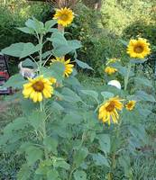 Audience of Sunflowers