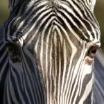 """""""zebra"""" by AlexisM"""
