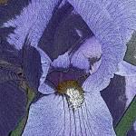 """Iris Lilac"" by windsweptacre"