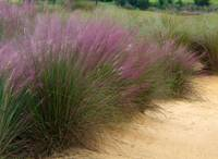 Purple Grass
