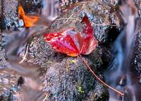 Red Maple in stream