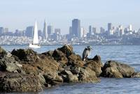 Heron watch - Sausalito