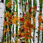 """Aspens with Red Berries"" by flowphotography"
