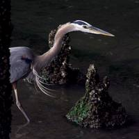 Heron Under Bridge, square