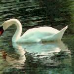 """Swan Reflection"" by Aesthete"