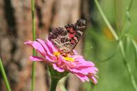 butterflyonpinkflower