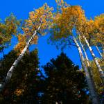 """""""Aspens Looking Up"""" by flowphotography"""