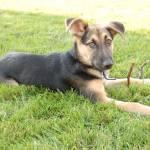 """German Shepherd Puppy"" by crazyabouthercats"
