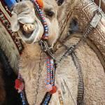 """""""camel"""" by nightofforce"""